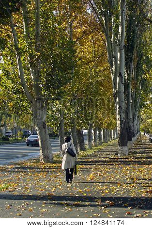 The old sycamore tree alley in autumn of Yerevan,Armenia.