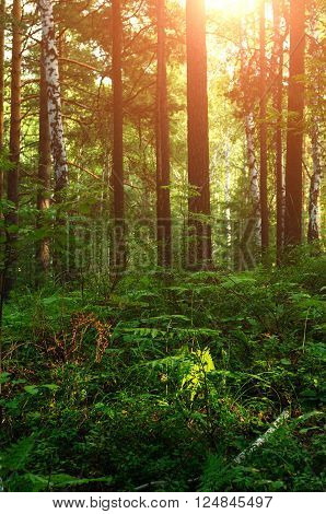 Summer landscape with forest looking enchanted lit by warm bright sunset light. Focus at the ferns. Soft filter processing.