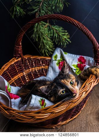 Small Tri-color Kitten In The Basket