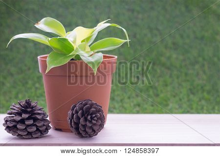 Small plant in heart shape in brown flower pot on wooden table and grass wall background and dry pine tree fruit/Small plant in heart shape flower pot and dry pine tree fruit