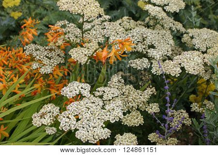 white yarrow flowers (achillea millefolium) with an orange crocosmia and other plants in a garden with a background of leaves.