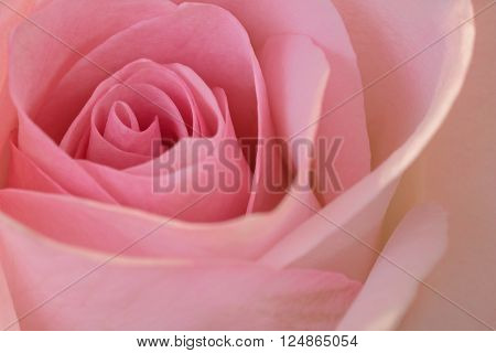 A beautiful close up of a soft pink rose. Great romantic symbol of love.