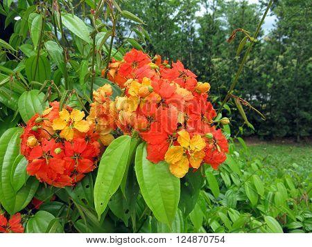 Bauhinia Kockiana Blooming in Vivid Orange Yellow Colors