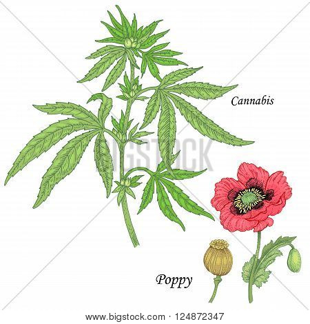 Cannabis poppy. Set of herbs for alternative medicine. Isolated image plants and flowers on white background. Vector illustration.