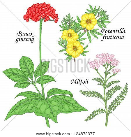 Potentilla fruticosa ginseng yarrow milfoil. Set of herbs for alternative medicine. Isolated image plants and flowers on white background. Vector illustration.