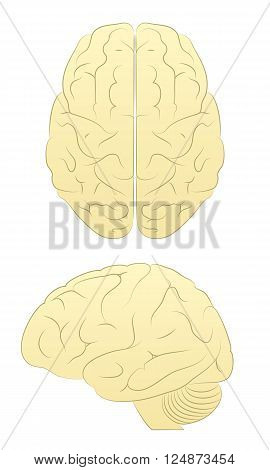 Brain. Line Art Vector of Brain form two angles