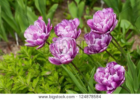 Several terry purple tulips growing in the flowerbed in the garden