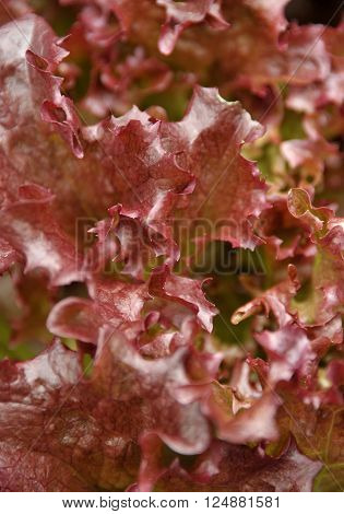 Red leaf salad lettuce variety Lollo Rosso.