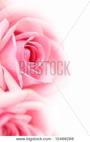 Rosa Rosa macro close up
