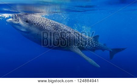 Underwater shoot of a gigantic whale shark