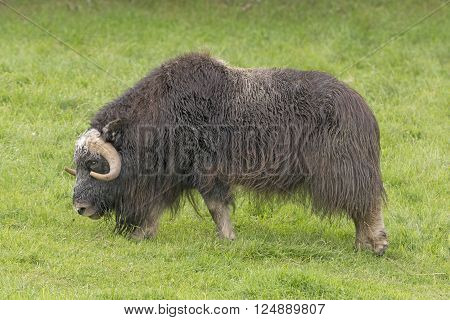 Musk Ox in a Preserve near Fairbanks Alaska
