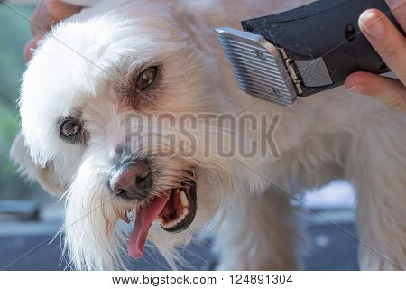 The white Maltese dog is groomed by electric razor by female groomer.
