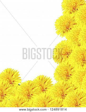 dandelion flowers isolated on white background. blowball