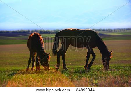 two grazing wild horses in sunset, Kazakhsan