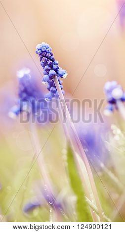Blue flowers of a muskari in dew at sunrise.