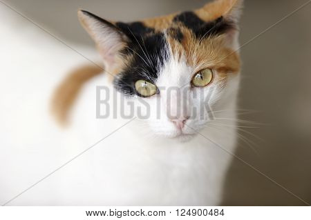 Curious cat is a closeup image of a Calico cat with magnetic green eyes