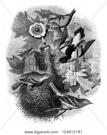 Baltimore Oriole nest on a tulip tree Liriodendron tulipifera, Wild, vintage engraved illustration. Magasin Pittoresque 1861.