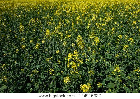 Canola seeds field. Rape crops on sunny fresh day. Agricaltural plants view