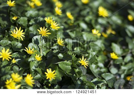 Beautiful yellow herbal celandine flowers in Spring