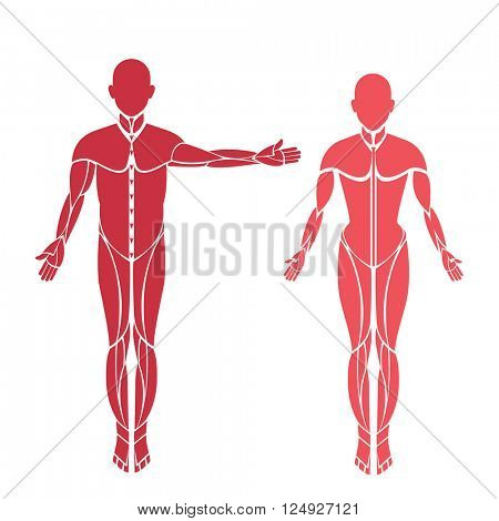 male and female  forms muscles