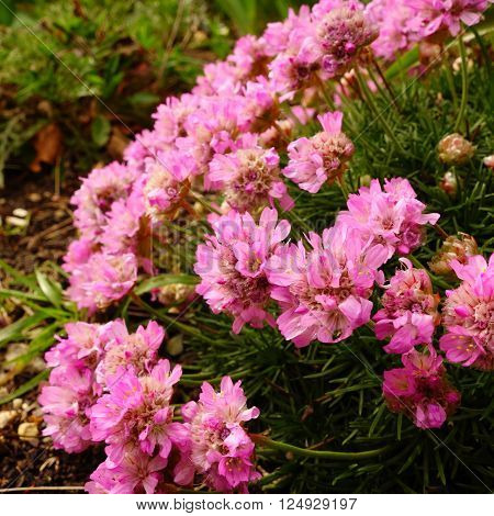 Close-up of sea pink flowers (Armeria maritima)