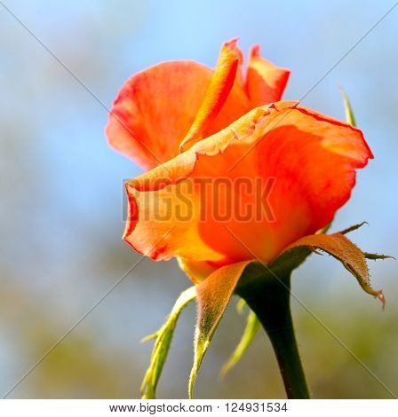 A bright rosebud on blue sky background