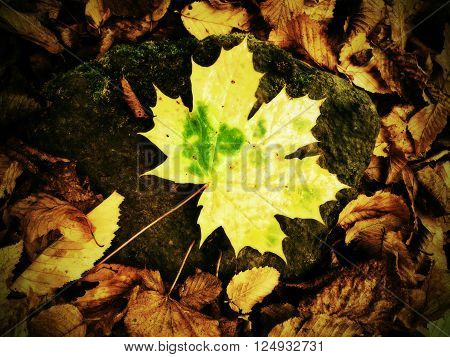 Park ground with autumn leaves. Yellow green broken maple leaf on mossy stone.