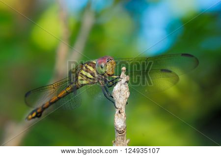Dragonfly close up (dragonfly) in nature background