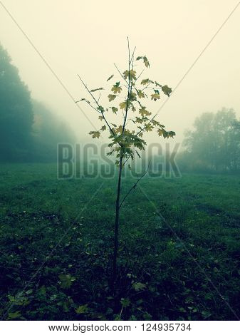 Young Maple Tree In The Mist