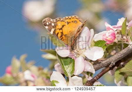 American Painted Lady butterfly pollinating an apple blossom in early spring