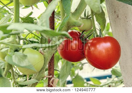 Growth red tomato in greenhouse. Ripe organic yellow tomatoes on a branch in a greenhouse