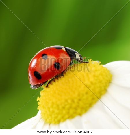 big ladybug