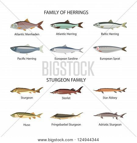 Fish vector set in flat style design. Herrings and sturgeon fishes. Ocean, sea and river fishes icons collection. Isolated on white background.