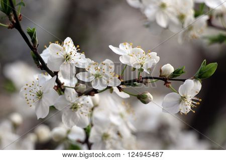 Spring blossoming tree. Blossom cherry, apple-tree, apricot