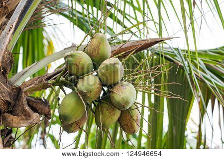 Closeuo of the green coconut fruit on coconut tree.