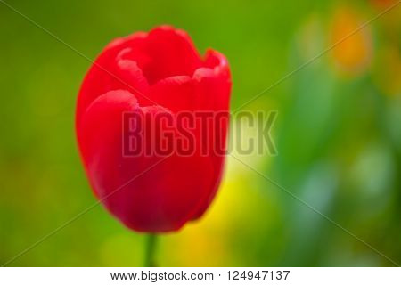 Red tulip with green bokeh light in background, closeup
