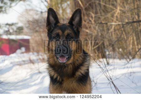 German Shepherd Dog On Snow In Spring Day