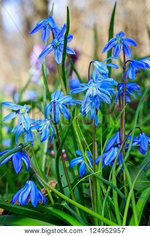 Nice spring blue scilla bifolia flowers