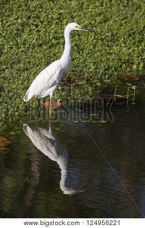 An immature snowy egret is reflected on the water's surface while standing alongside a Florida pond.