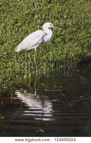 An immature snowy egret is reflected on the rippling surface of a Florida pond.