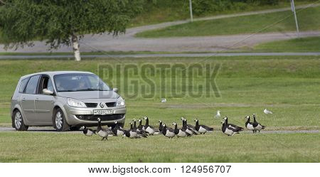 RUISSALO, TURKU FINLAND ON JUNE 30. View of a car entering a Camp at Ruissalo on June 30, 2013 in Turku, Abo Finland. Barnacle Goose, Branta leucopsis at the ground. Unidentified people in the car.