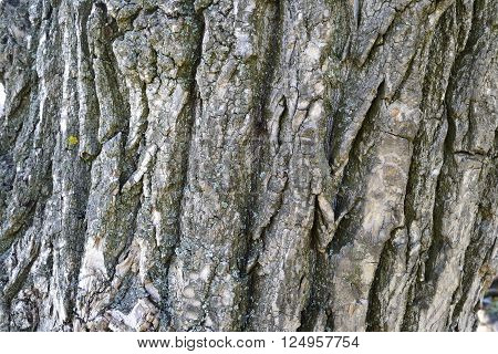 bark with cracks and moss dry poplar