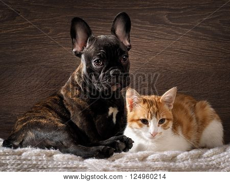Dog and cat together on white, knitted rug. Cute, cute animals. Snouts large. Background wood. Dog Bulldog, thoroughbred, black. Cat small, white with red