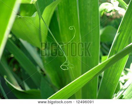 Swirly Pflanze