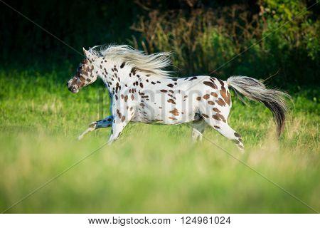 Appaloosa horse running in field