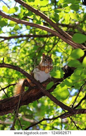 A red squirrel in a tree foraging.