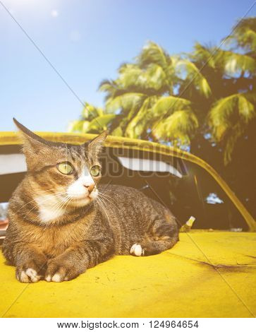 Cat Relaxing on Car Animal Exoticism Concept