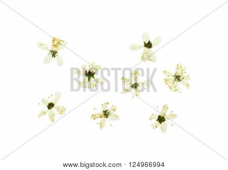 Pressed and dried flower cherry-tree photographed from the front and the back side flower. Isolated on white background.