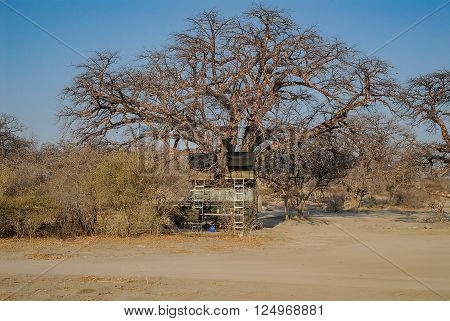 Baobab Tree in the savannah of Etosha National Park