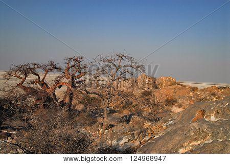 Baobab Tree in the savannah of Etosha National Park